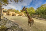 girafe-bioparc-p-chabot-651686