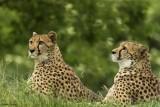 guepard-bioparc-p-chabot-651689