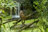 leopard-sri-lanka-bioparc-p-chabot-651691