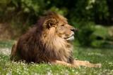 lion-bioparc-p-chabot-651692