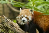 panda-roux-bioparc-p-chabot-651698