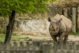 rhinoceros-noir-bioparc-p-chabot-651701
