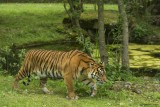 tigre-sumatra-bioparc-p-chabot-651703