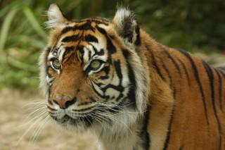 bioparc-tigre-chabot-800-249845
