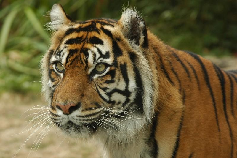 Bioparc Tigre © Chabot